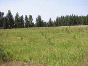 Ponderosa pine reforestation demonstration showing all treatments five years after planting.
